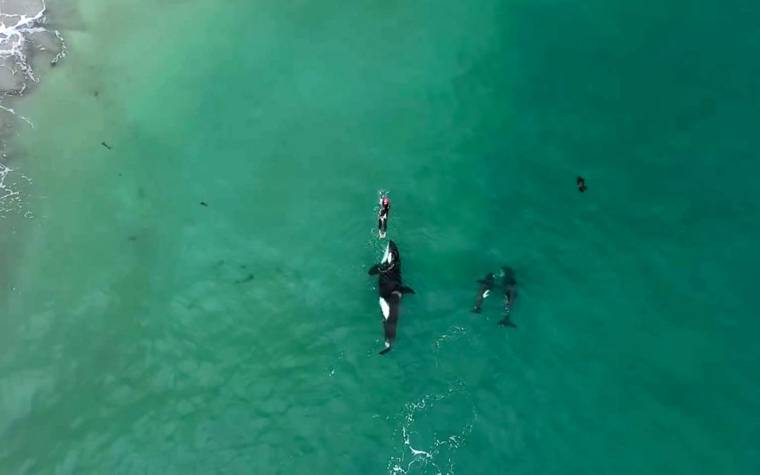 Swimming with Wild Orcas